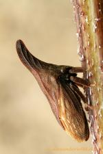 Treehopper coloring