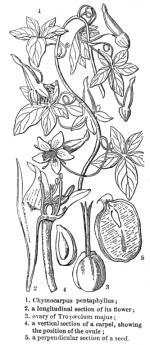 Tropaeolum coloring