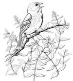 Tufted Titmouse coloring