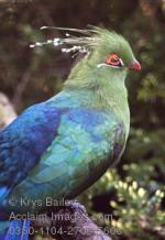 Turaco clipart