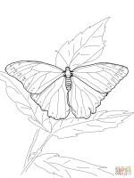 Ulysses Butterfly coloring