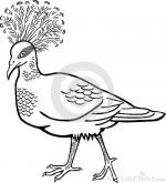 Victoria Crowned Pigeon clipart
