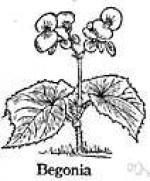 Wax Begonia clipart