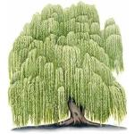 Weeping Willow clipart