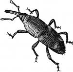 Weevil clipart