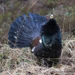 Western Capercaillie svg