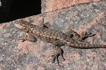 Western Fence Lizard clipart