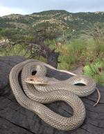 Whip Snake coloring