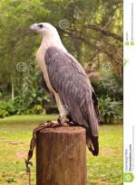 White-bellied Sea Eagle clipart