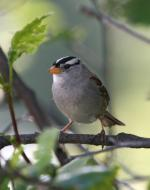White-crowned Sparrow svg