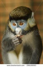 White-faced Guenon clipart