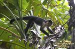 White-faced Guenon svg