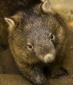 Whopping Wombat clipart