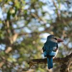 Woodland Kingfisher coloring