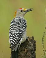 Yellow-fronted Woodpecker coloring