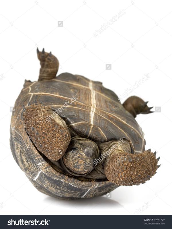 Aldabra Giant Tortoise clipart