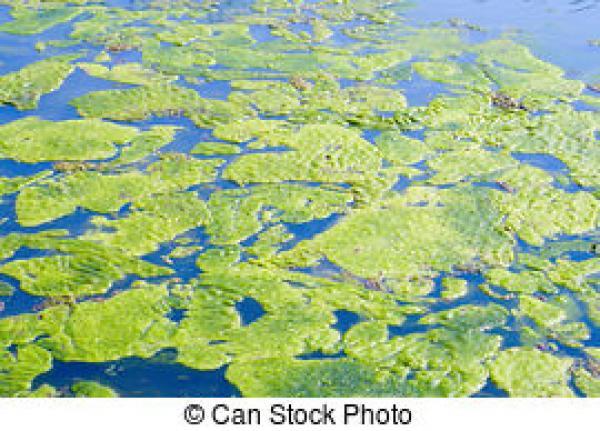Algae clipart