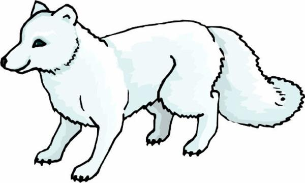 Arctic Fox coloring