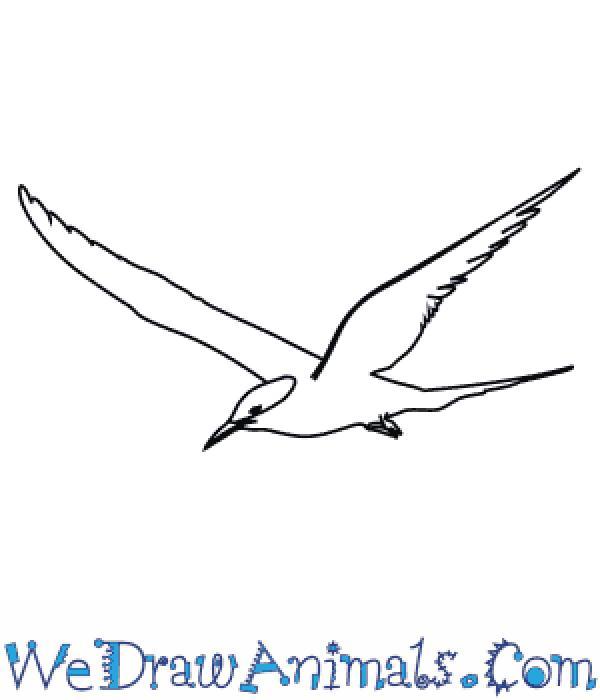Arctic Tern coloring