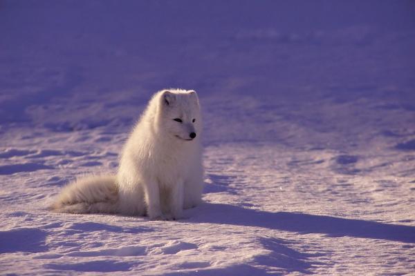 Arctic Wolf svg