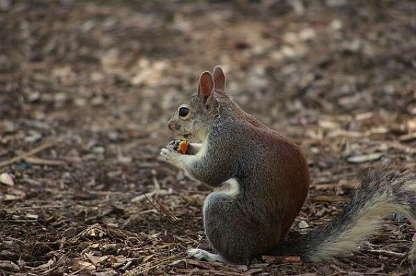 Barbary Ground Squirrel svg