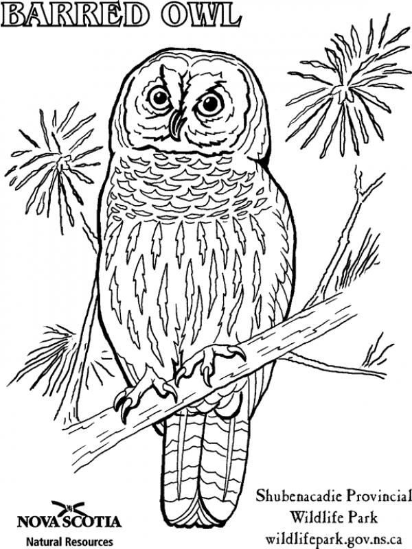 Barred Owl coloring