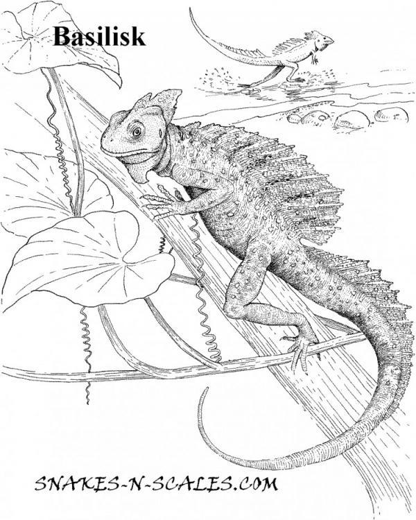 Basilisk coloring