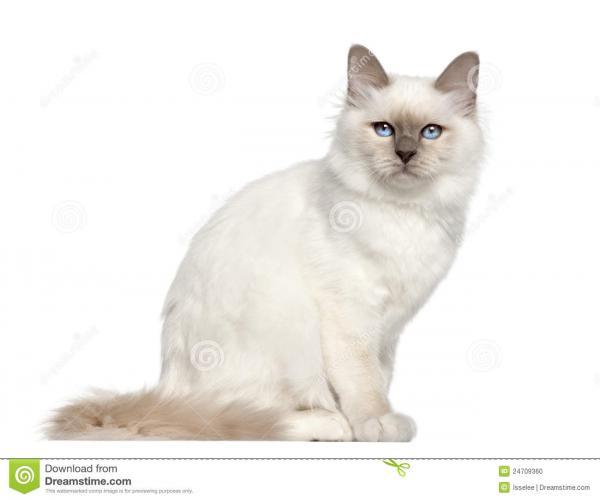 preview Birman Cat clipart