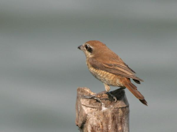Brown Shrike svg