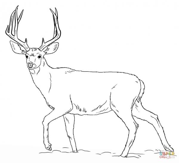 preview White-tailed Deer coloring