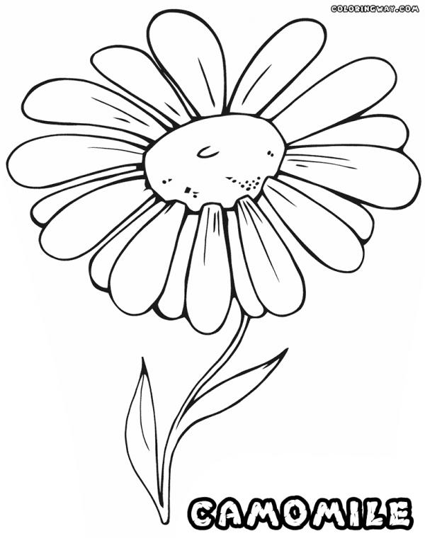 preview Camomile coloring