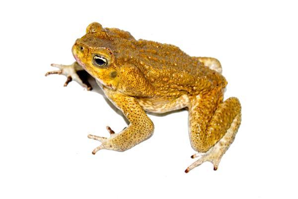 Cane Toad svg