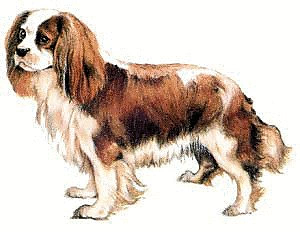 preview King Charles Spaniel clipart