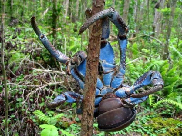 Coconut Crab svg