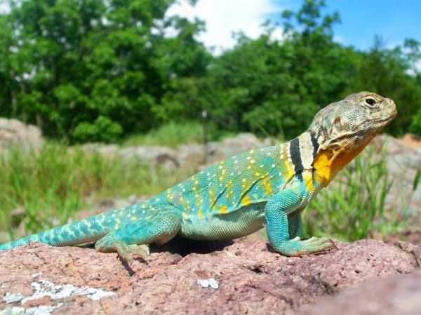 Eastern Collared Lizard clipart