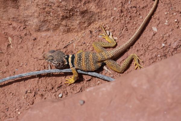 Collared Lizard svg