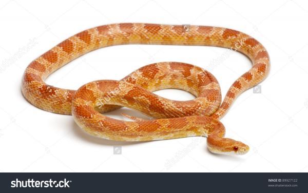Corn Snake clipart