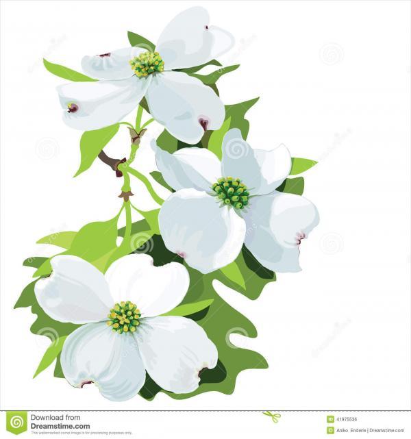 Cornus Blossom clipart