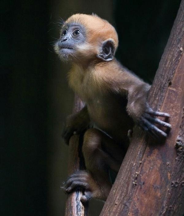 Dusky Leaf Monkey svg