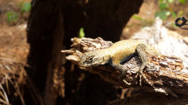 Eastern Fence Lizard coloring