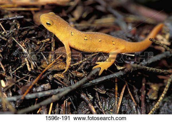Eastern Newt  clipart