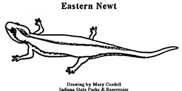 Eastern Newt  coloring