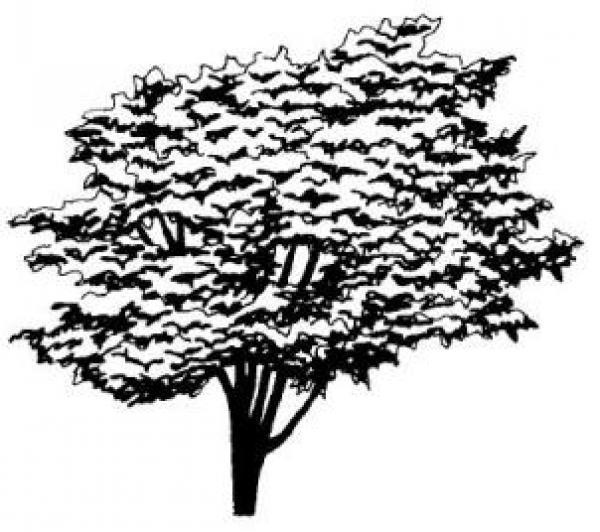 Elm coloring