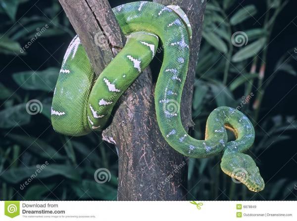 Emerald Tree Boa clipart