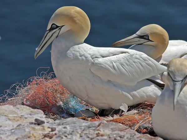Northern Gannet coloring