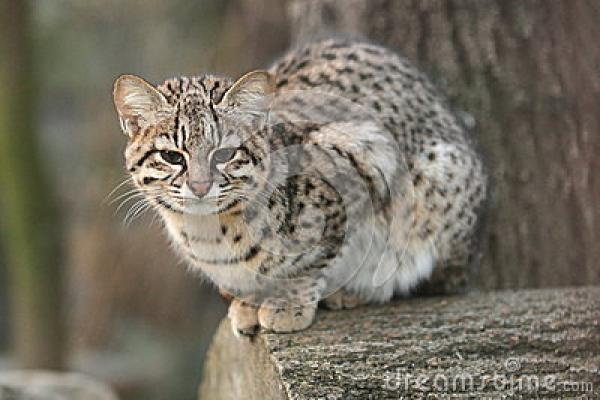 preview Geoffroy's Cat clipart