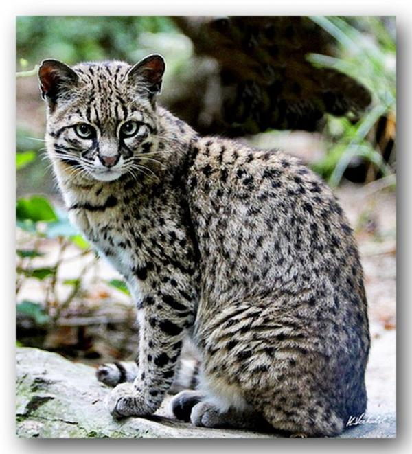 preview Geoffroy's Cat coloring
