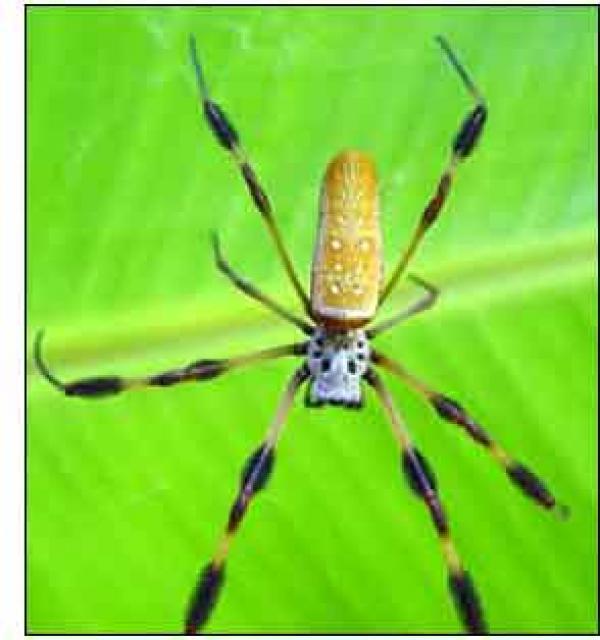 Golden Silk Orb-weaver Spider clipart