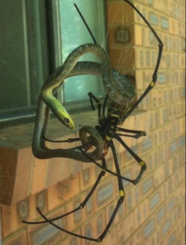 Golden Silk Orb-weaver Spider svg