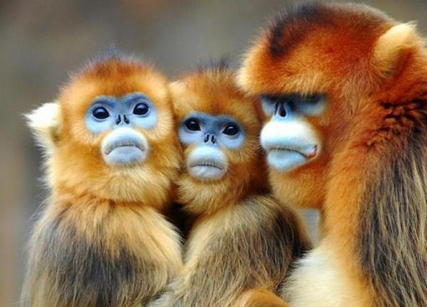 Golden Snub-nosed Monkey svg